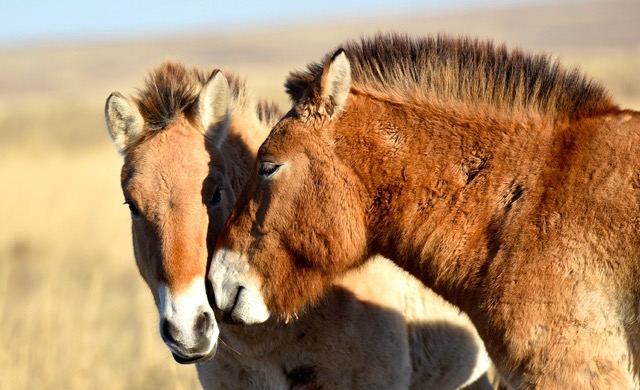 more-wild-horses-return-to-russia