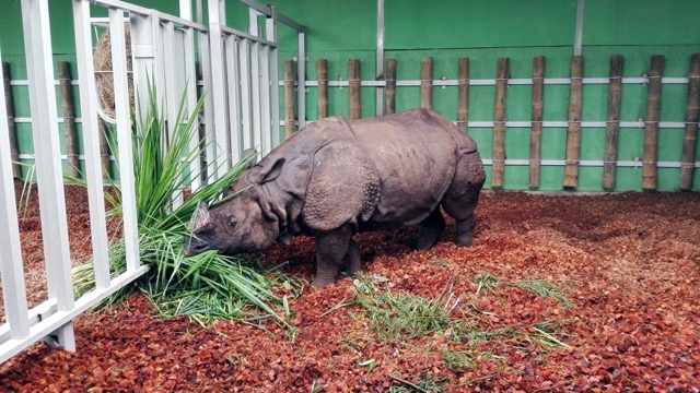 Bertus the rhino settling in to new home